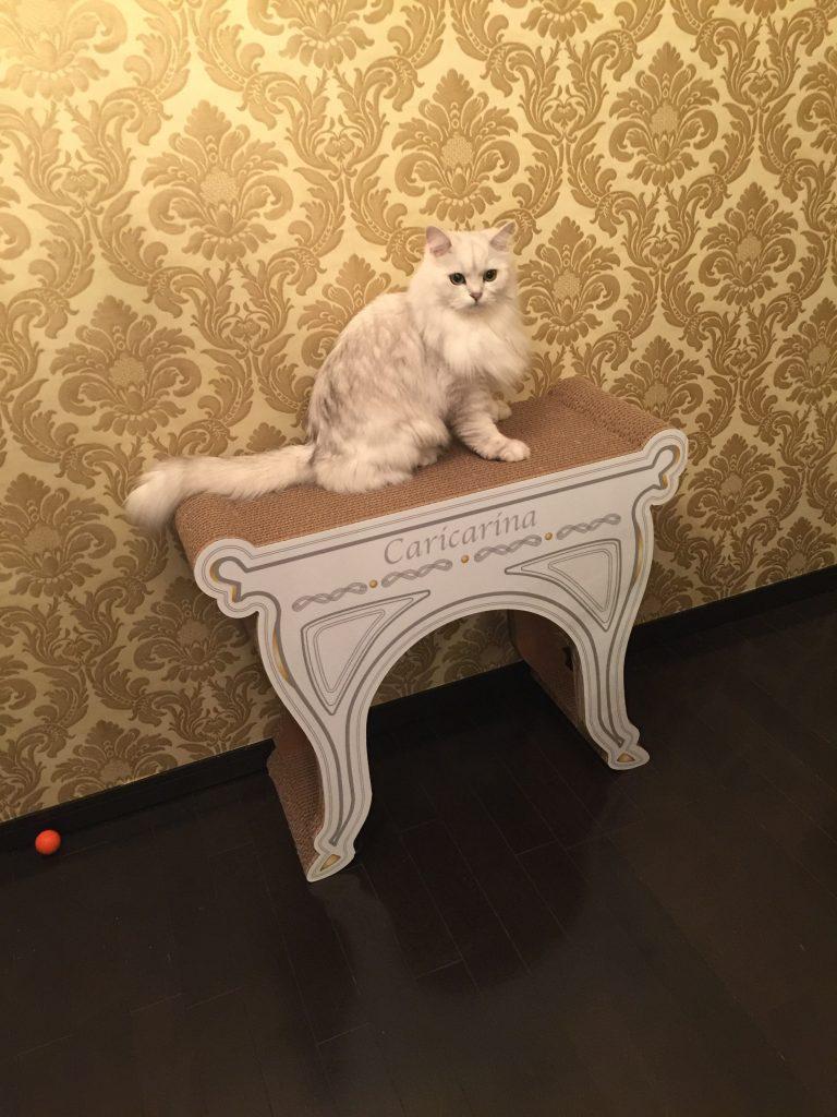 ペルシャ猫チンチラシルバーのマリン