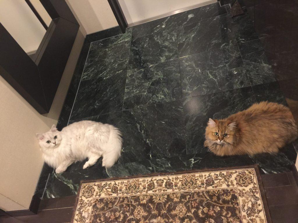 大理石が好きなペルシャ猫