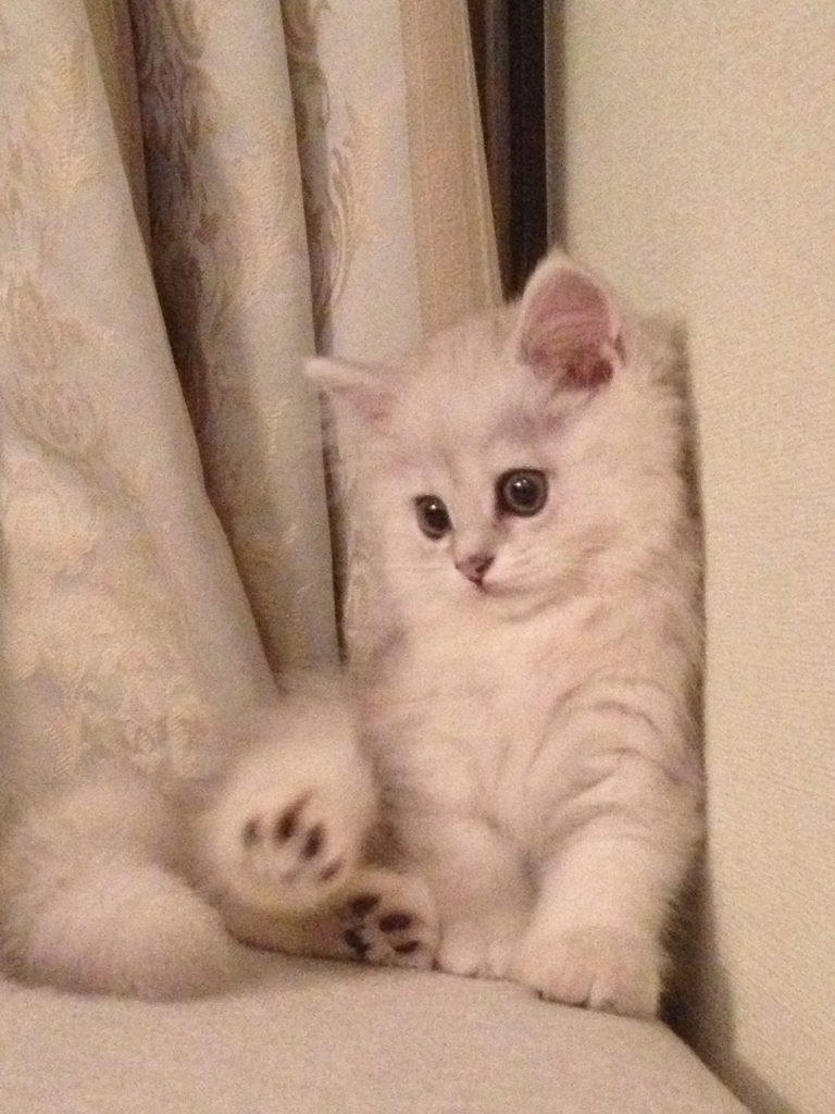 チンチラシルバー子猫