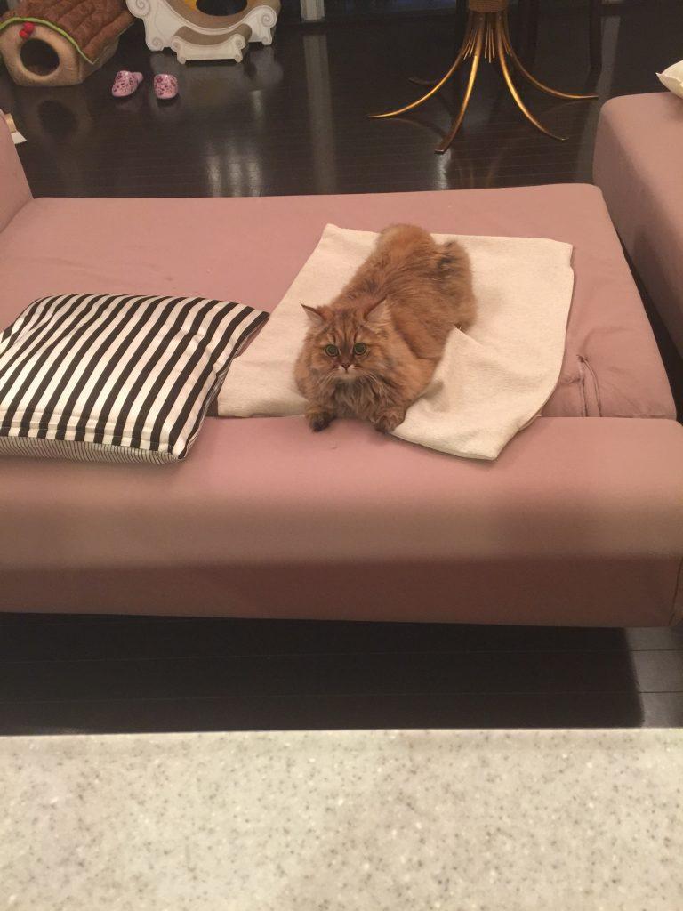 ソファにすわるチンチラゴールデンエレナちゃん