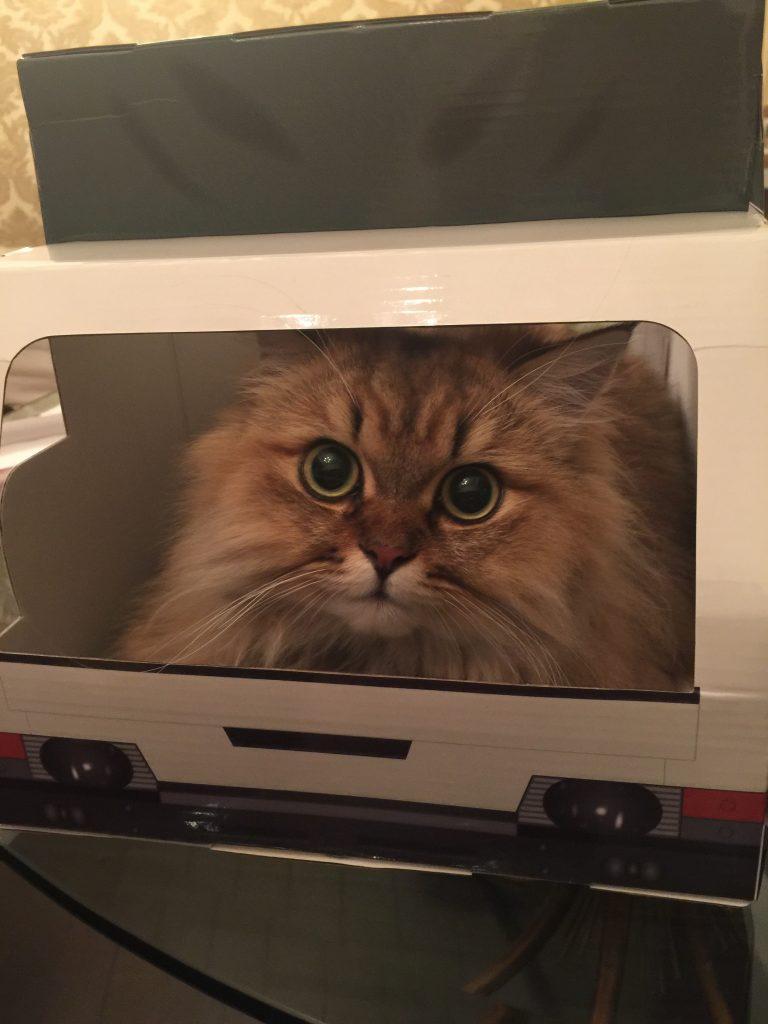 箱が好きなチンチラゴールデンエレナ写真