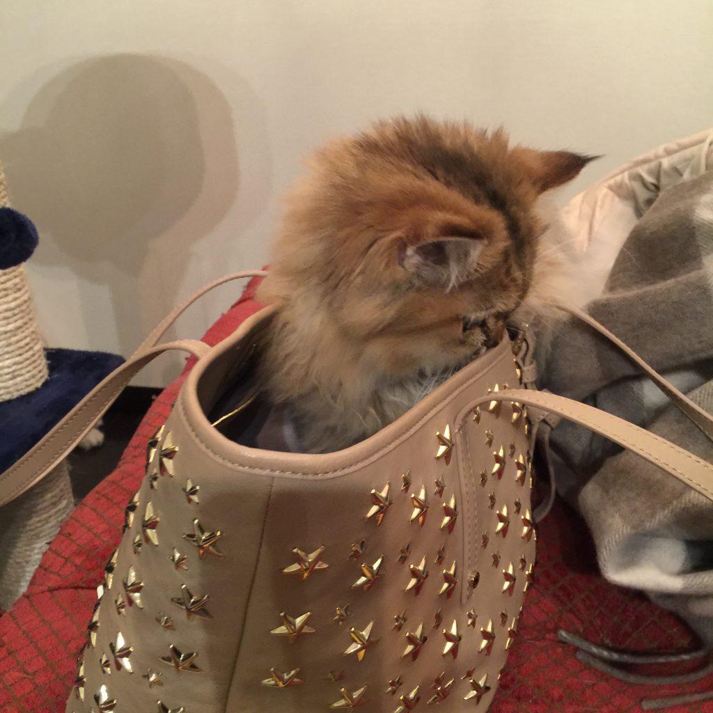 バッグに入る子猫