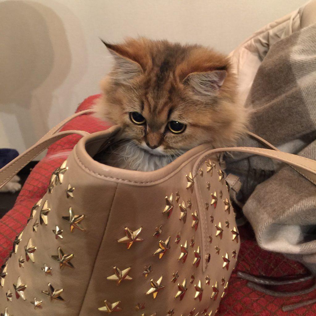 バッグに入ってあそぶチンチラゴールデン子猫