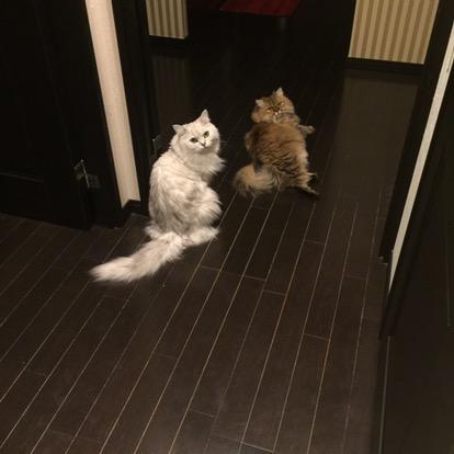 チンチラ猫仲良し
