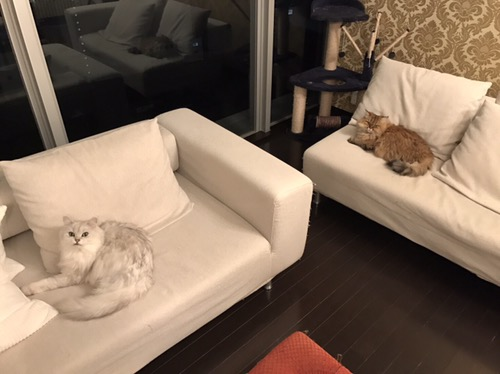 猫2匹ソファで昼寝