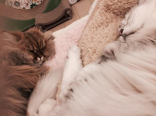 ペルシャ猫チンチラ