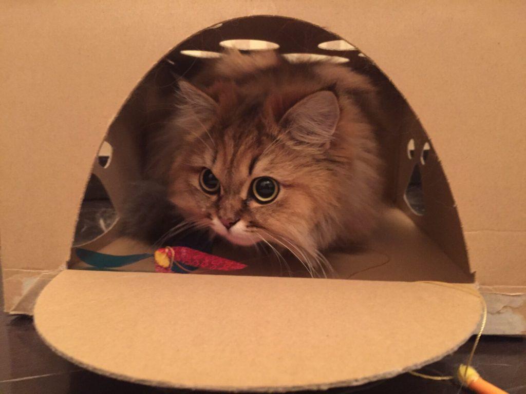 チンチラゴールデンのエレナ、箱であそぶ