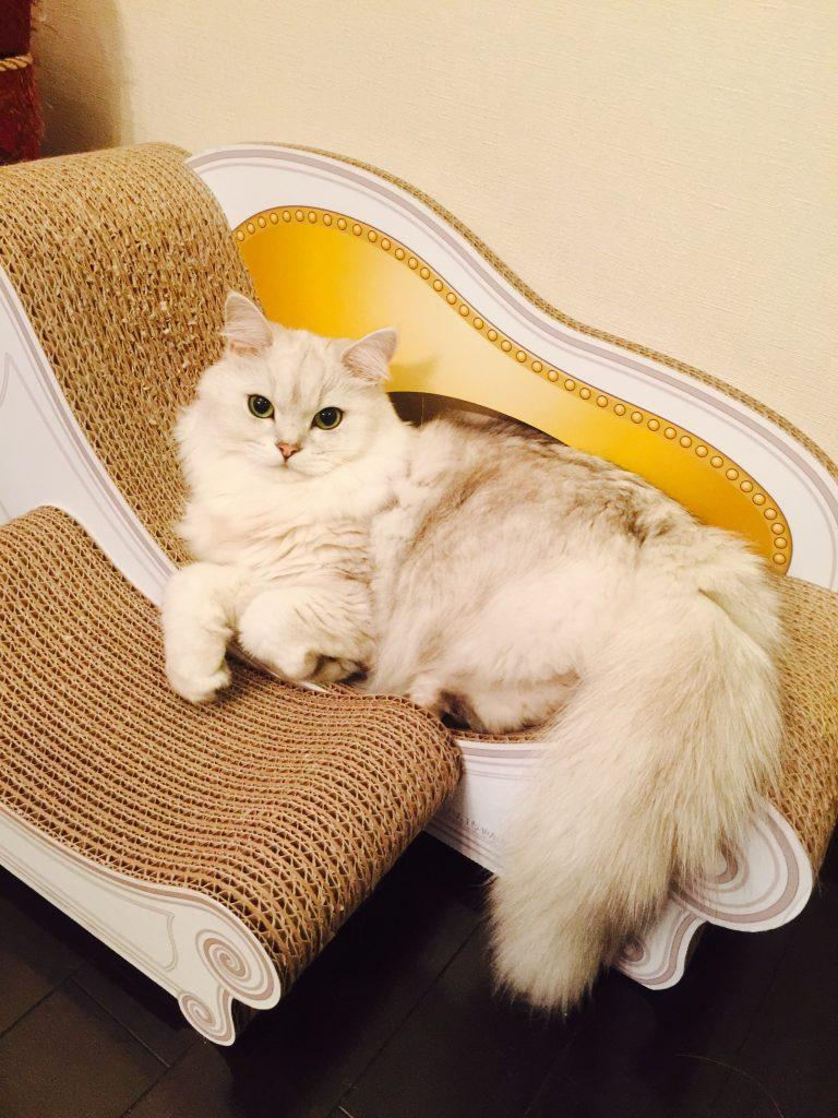 爪とぎソファーカリカリーナで優雅にくつろぐペルシャ猫