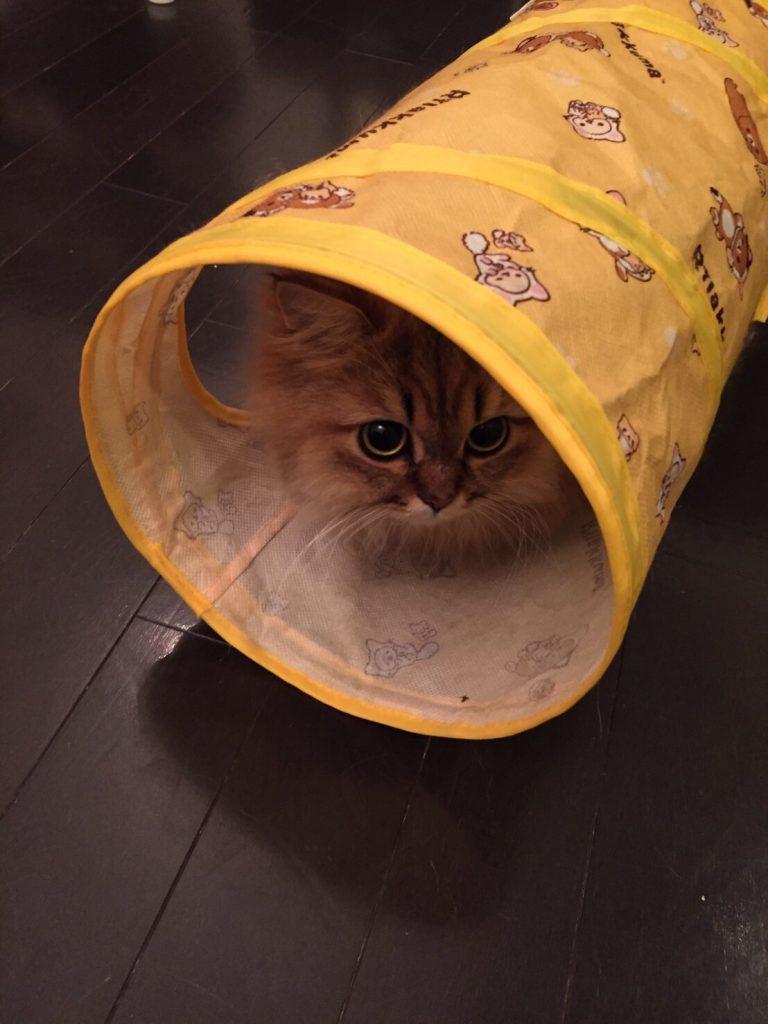 トンネルに入るチンチラゴールデンエレナちゃん
