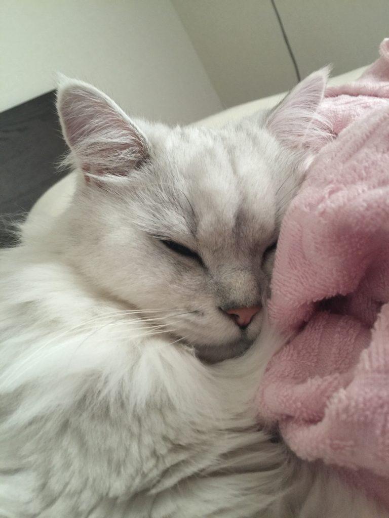 チンチラシルバーマリンちゃんの寝顔