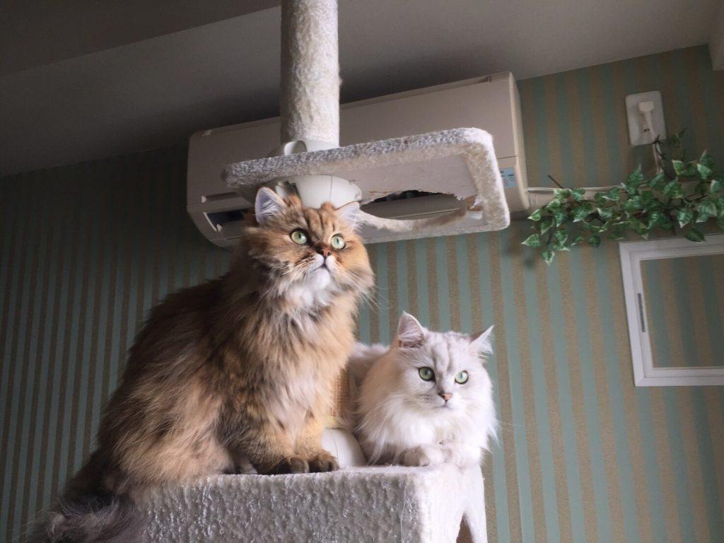 キャットタワーにのるペルシャ猫