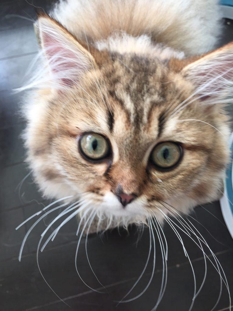 ペルシャ子猫メス