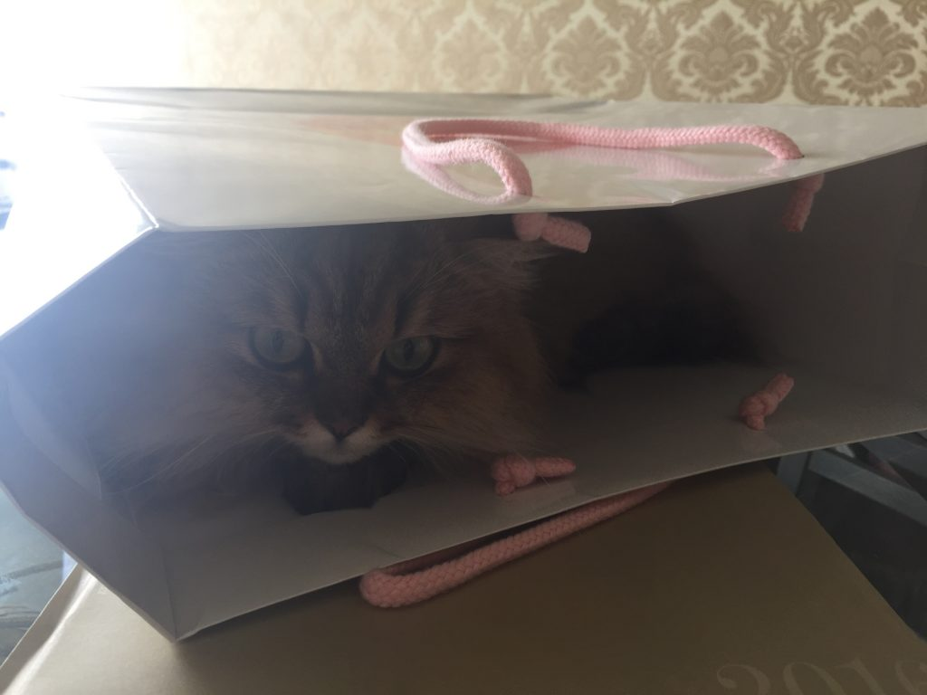 袋に入ってあそぶチンチラ猫