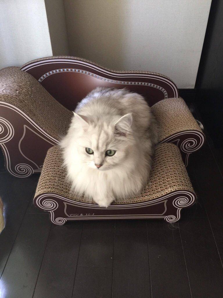 猫ソファでくつろぐチンチラシルバー