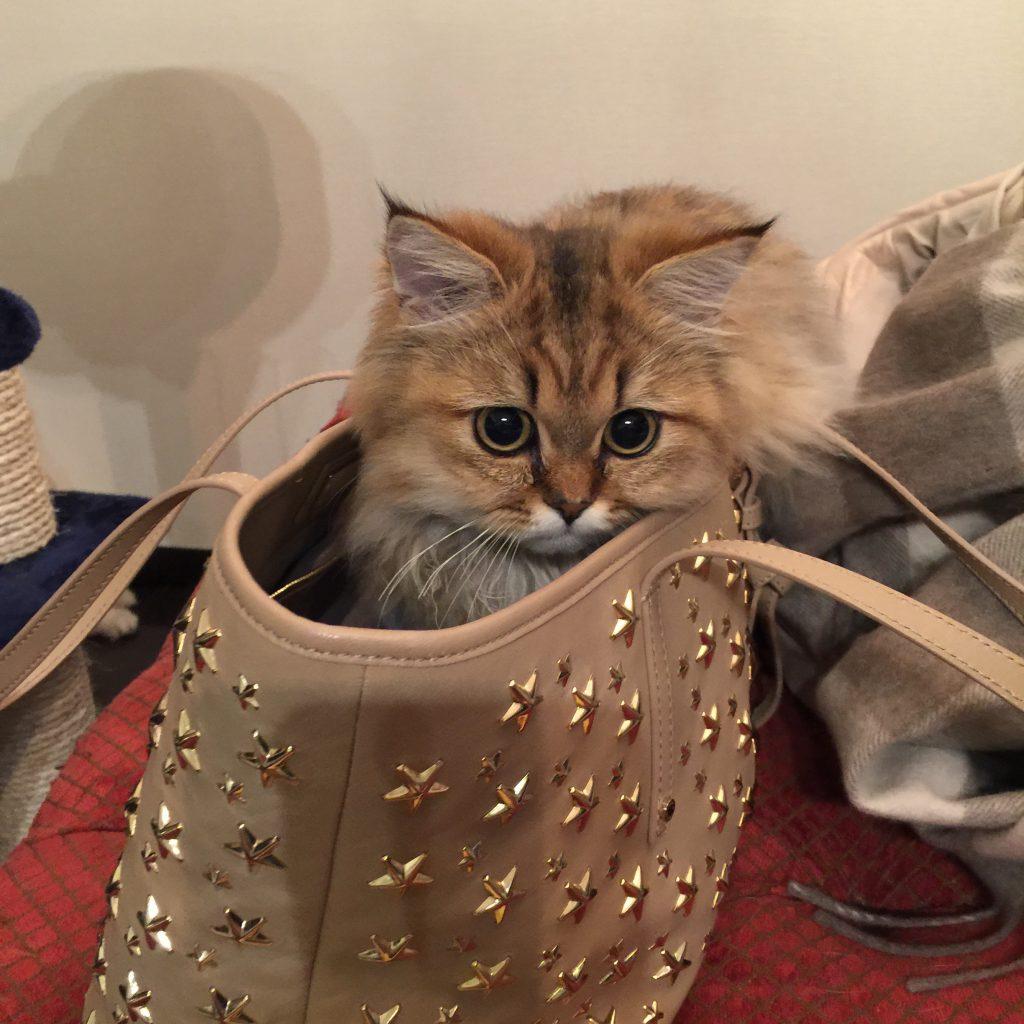 バッグに入るチンチラ猫