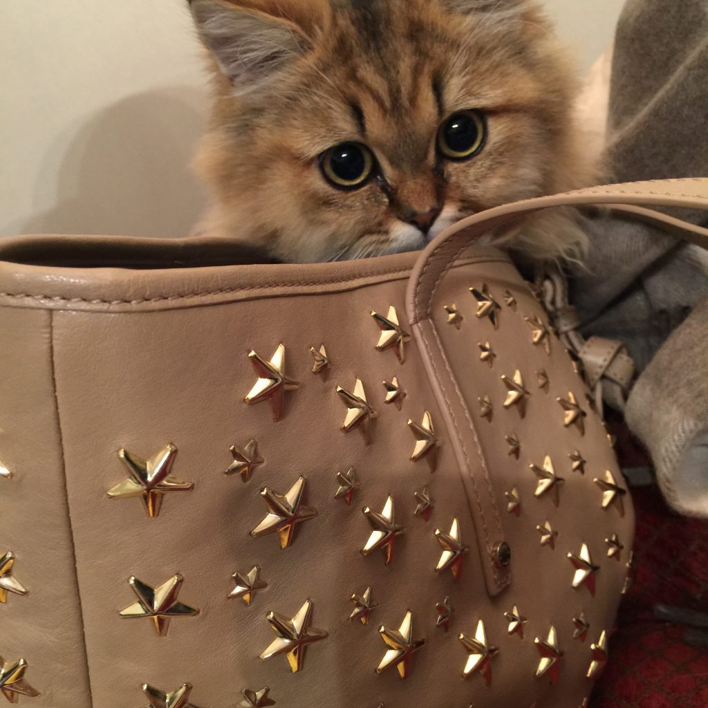 チンチラゴールデン子猫写真