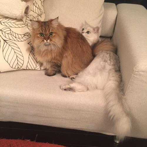 ペルシャ猫1歳