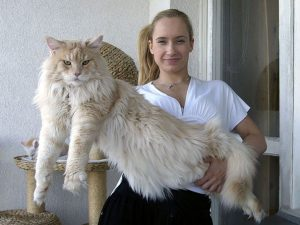 maine-coon-cats-44__605