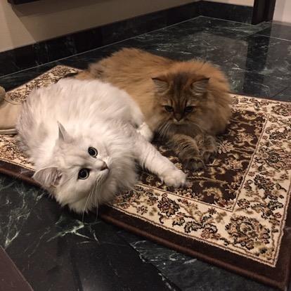 ペルシャ猫写真